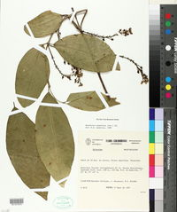 Image of Bunchosia armeniaca