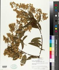 Image of Bredemeyera floribunda