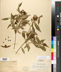 Image of Monnina ciliolata