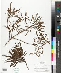 Image of Phyllanthus angustifolius