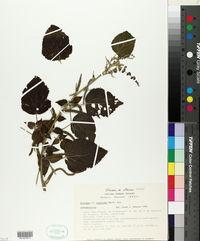 Image of Acalypha lagascana