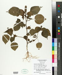 Acalypha alopecuroides image