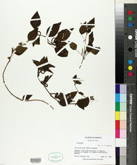 Acalypha acapulcensis image