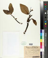 Image of Jatropha isabellei