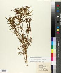 Euphorbia hexagona image