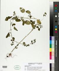Image of Euphorbia armourii