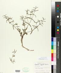 Image of Chamaesyce angusta