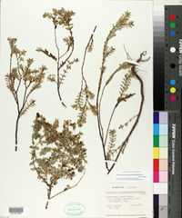 Chamaesyce mesembrianthemifolia image