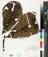 Image of Anacardium giganteum