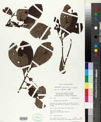 Image of Anacardium parvifolium