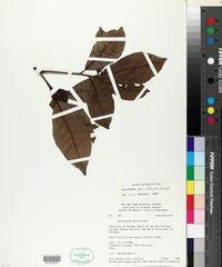 Anacardium parvifolium image