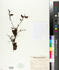Image of Schinus gracilipes
