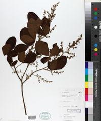 Image of Searsia longipes