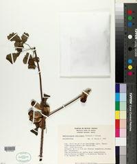 Amphipterygium adstringens image