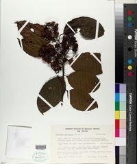 Celastrus vulcanicola image