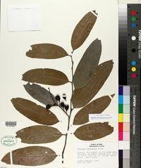 Image of Maytenus macrocarpa