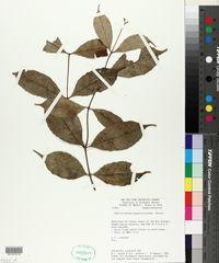 Cheiloclinium cognatum image