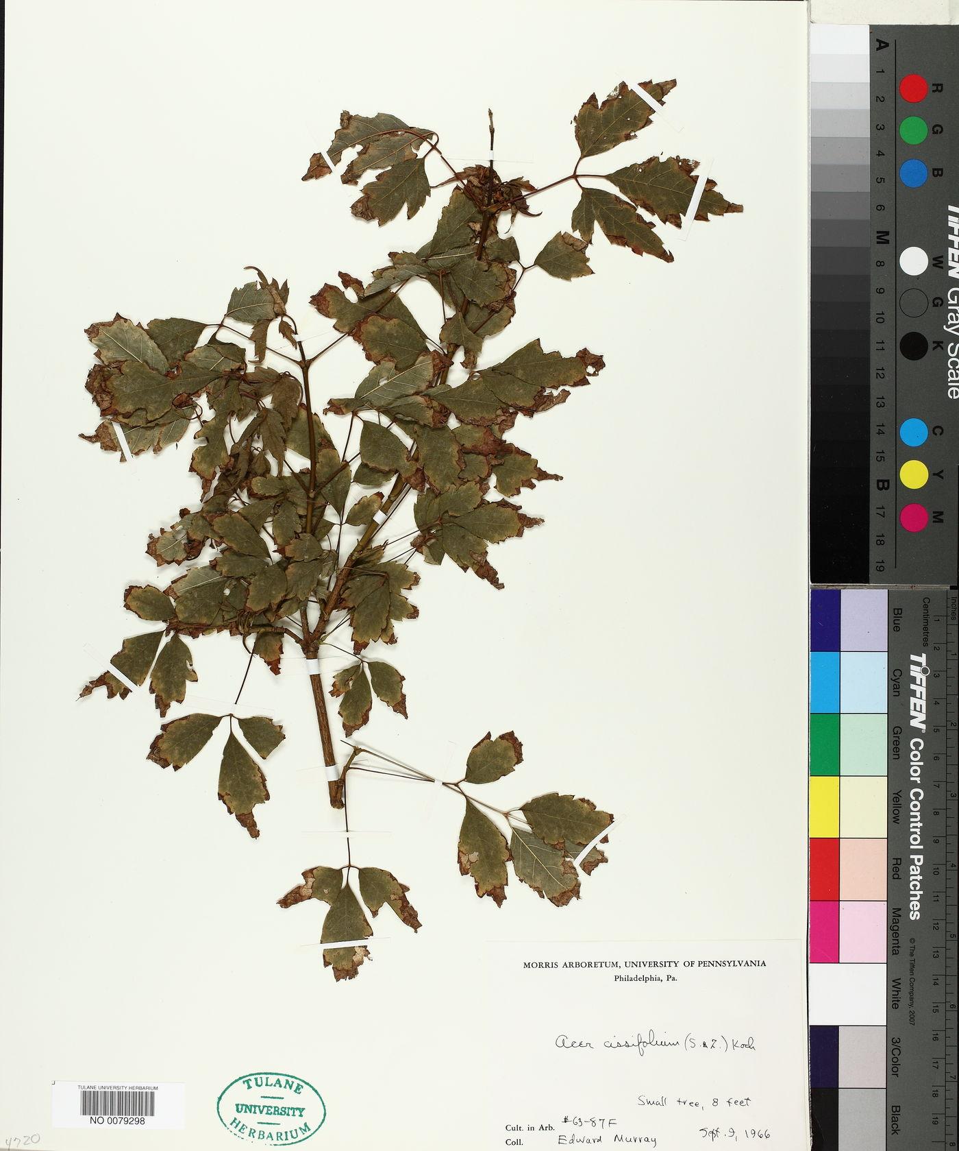 Acer cissifolium image