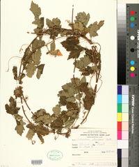 Image of Cardiospermum pterocarpum
