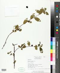 Image of Rhamnus pringlei