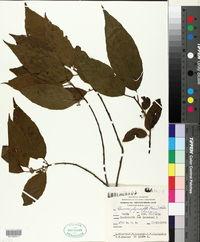 Image of Frangula polymorpha