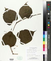 Image of Vitis bourgaeana