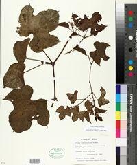 Image of Cissus biformifolia