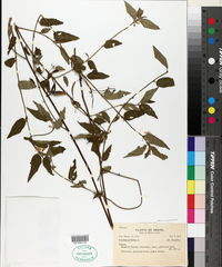 Corchorus hirtus image