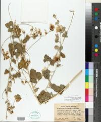 Sphaeralcea ambigua subsp. rosacea image