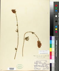 Image of Sidalcea setosa