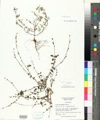 Sida ciliaris image