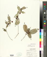Malvaviscus arboreus var. arboreus image