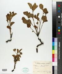 Image of Hibiscus aethiopicus