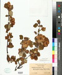 Fremontodendron californicum image