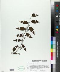 Byttneria aculeata image