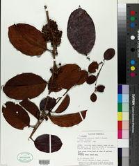Doliocarpus dentatus image
