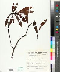 Image of Tovomita weddelliana
