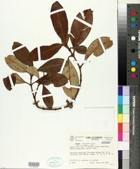 Image of Clusia ducuoides