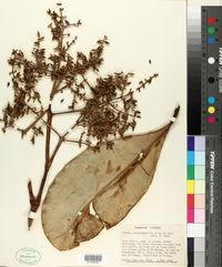 Image of Clusia popayanensis