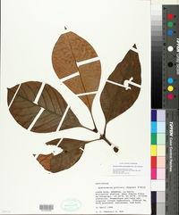 Image of Dystovomita paniculata