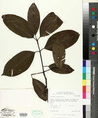 Image of Platonia insignis