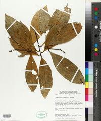 Image of Amphirrhox longifolia