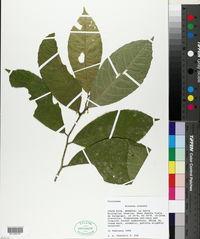 Image of Bribria crenata