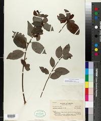 Image of Anchietea pyrifolia