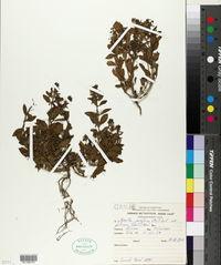 Image of Hybanthus parviflorus