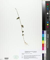 Image of Hybanthus thiemei