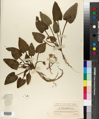Viola chinensis image