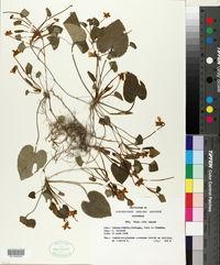 Viola alba image