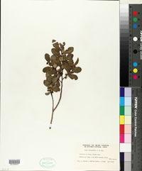 Image of Azara integrifolia
