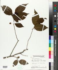 Image of Casearia acuminata